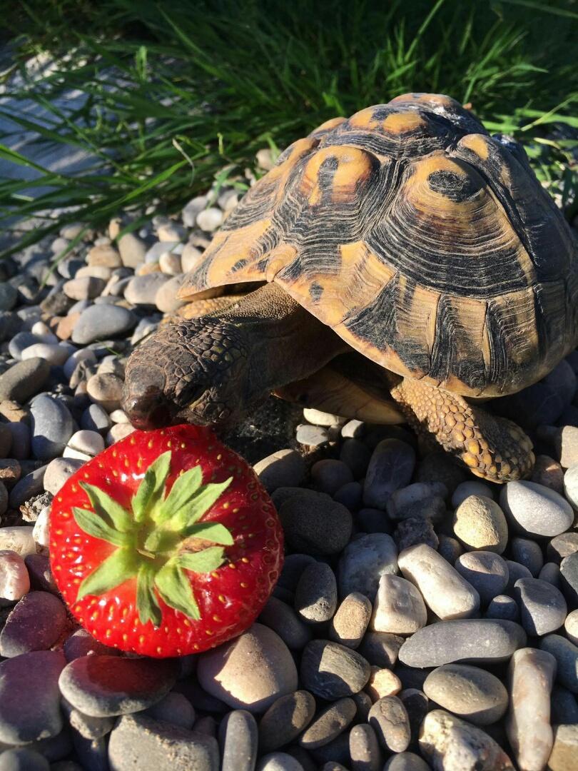 ErdbeerenSchildkröte