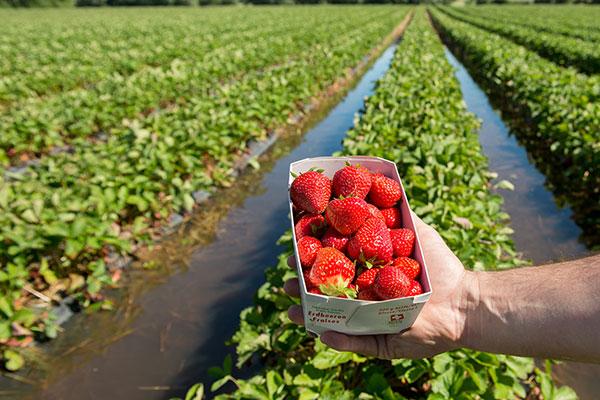 Erdbeeren unterwasser