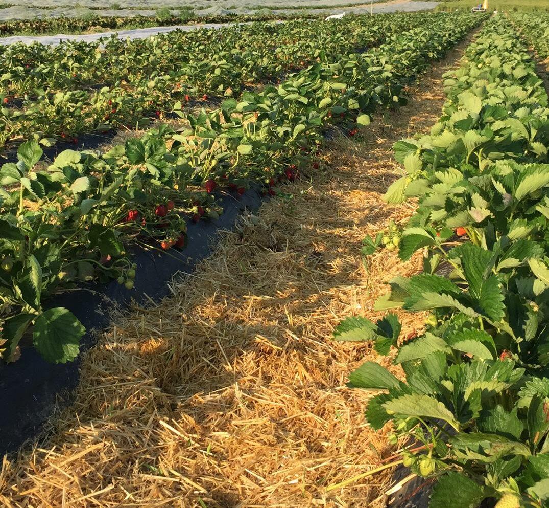 Erdbeerenfeld